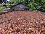 Cacao Yaguaraparo