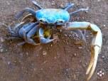 Cangrejo Azul